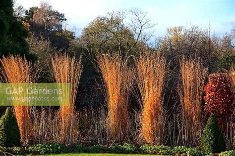 gap gardens molinia caerulea subsp arundinacea