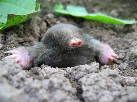 moles animal e town ky mole control and removal animal control animal removal