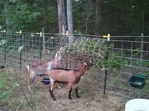 Goat Buck Pen