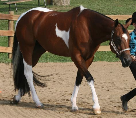 horse paint horses pretty quarter tri colored western bay paints natural pleasure pinto american mare breeds pony deviantart painting coloured
