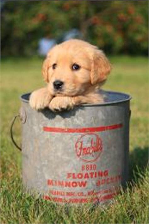 Nutrition For Golden Retriever Puppies Mn