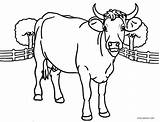 Cow Coloring Pages Printable Adults Head Print Cool2bkids Sheets Getcolorings Baby Getdrawings sketch template