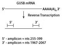 MMLV High Performance Reverse Transcriptase :: Reverse ...