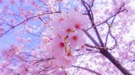 wallpaper  sakura flowers bloom