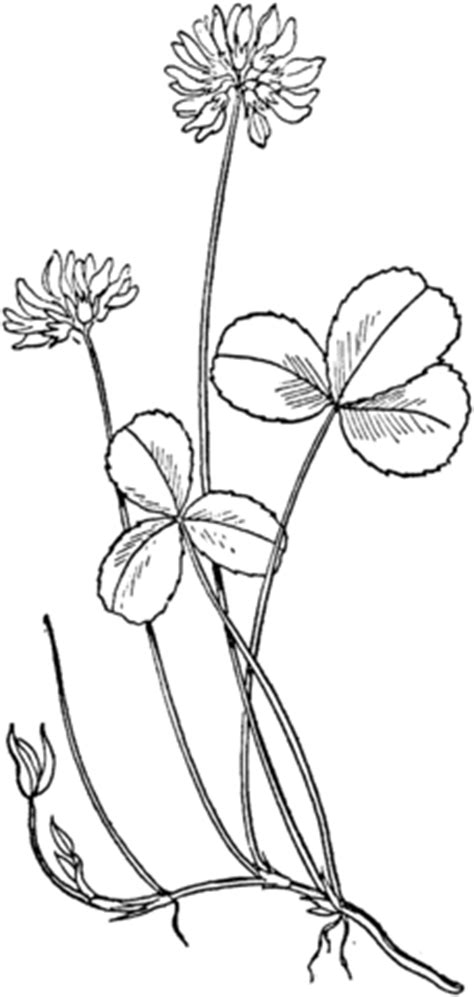 white clover coloring page  printable coloring pages