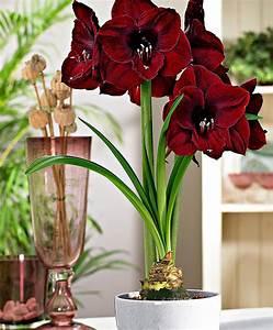 Amaryllis In Der Vase : amaryllis 39 black pearl 39 kaufen ~ Lizthompson.info Haus und Dekorationen