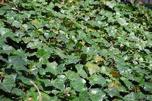 Efeu Pflanzen Kaufen : gemeiner efeu bedeckt ein st ck waldboden foto bild ~ Michelbontemps.com Haus und Dekorationen