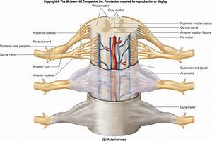 Spinal Cord  Spinal Nerves  Spinal Reflexes