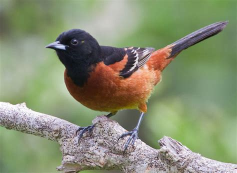 orchard oriole 187 bird watcher s digest