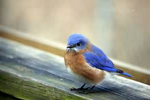 749 best BLUEbirds images on Pinterest