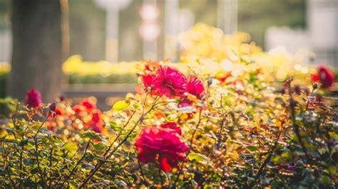 Rožu laukums