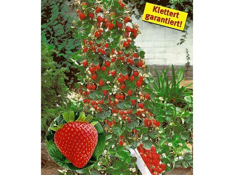 kletter erdbeere hummi  pflanzen fragaria lidl