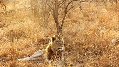 Africa Lion South Kruger 4k Wallpapers 2160