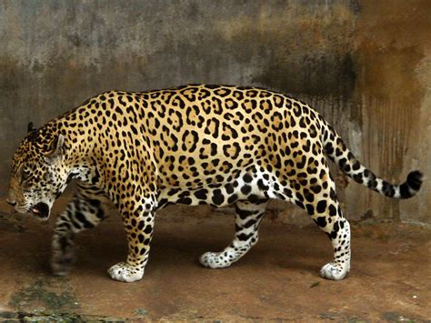 Jaguar Picture by Jaguar Animal Facts