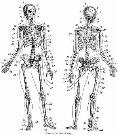 Skeleton Anatomy Printable Graphics Fairy Human Halloween