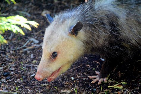 Opossum-Based Antidote Provides New Route For Treating