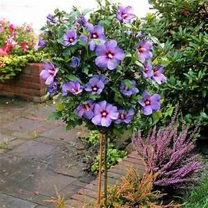 Blumen Winterhart Mehrjährig : hibiskus auf stamm blau von floraprima auf kaufen ~ Whattoseeinmadrid.com Haus und Dekorationen