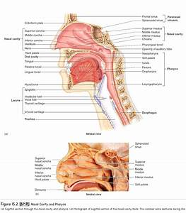 Diagram  External Nose Anatomy Diagram