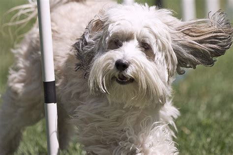 Do Tibetan Terriers Shed hypoallergenic dogs that dont shed breeds picture