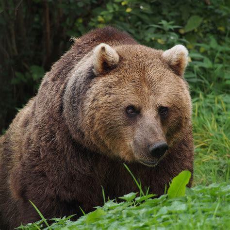 Eurasian Brown Bear Wikipedia