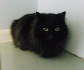 haired black cats search engine at search