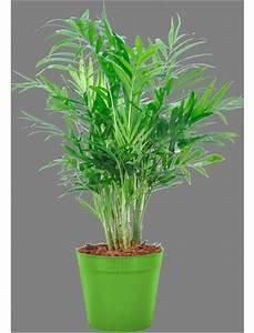 Zimmerpflanze Für Badezimmer : zimmerpflanze bergpalme ~ Sanjose-hotels-ca.com Haus und Dekorationen