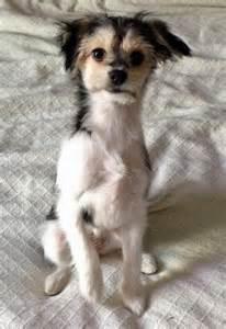 Great Dane Chihuahua Mixes
