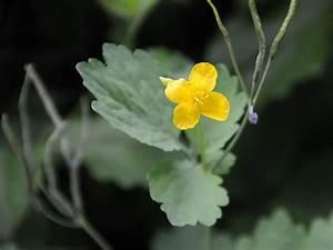 Welche Pflanzen Sind Nicht Giftig Für Katzen : giftblumen die giftblume ~ Eleganceandgraceweddings.com Haus und Dekorationen