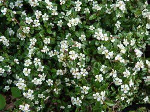 Rankpflanzen Winterhart Immergrün : zwergmispel coral beauty bodendecker ratgeber ~ A.2002-acura-tl-radio.info Haus und Dekorationen