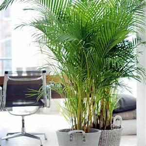 Plante D Intérieur Haute : palmier areca lutescens dypsis plantes et jardins ~ Premium-room.com Idées de Décoration