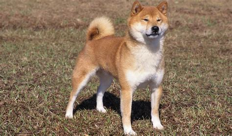 Do Akitas Shed Hair by Shiba Inu Breed Information