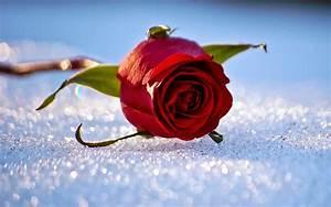 Blumen Im Winter : hd blumen hintergrundbilder hd hintergrundbilder ~ Eleganceandgraceweddings.com Haus und Dekorationen