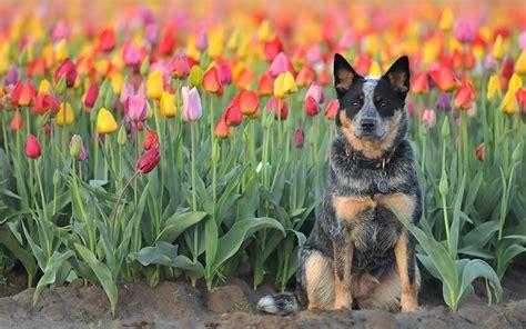 images australian cattle dog tulip fields flowers animal