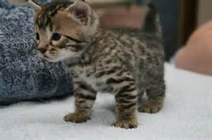 cat for price baby bengal kitten prices quotes