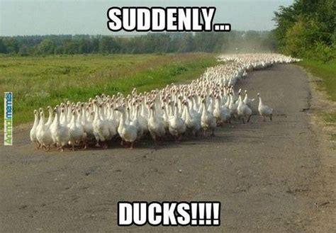 Ducks Meme - duck memes google search funny stuff pinterest suddenly animals and a snake