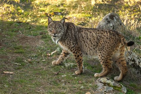 lynx iberian alhambra sierra spain bonanza raptor flamenco villages moorish mammals gastronomy isolates andalucia heritage birds wine painted everything