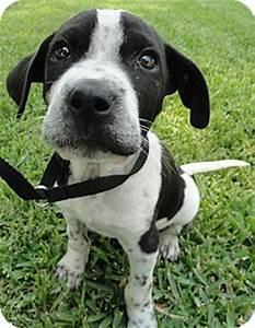 Pacifico | Adopted Puppy | Santa Ana, CA | Pointer/English ...
