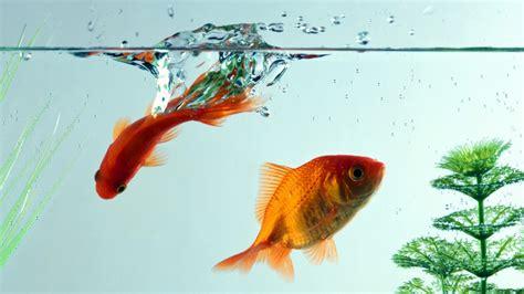 goldfish wallpapers wallpapersafari