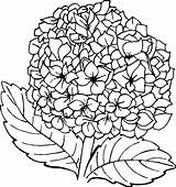 Hydrangea Coloring Pages Flower Printable Coloringpagesfortoddlers Sheets Flowers Template Credit Larger Coloringfolder Dari Disimpan sketch template
