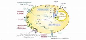 Control Of Lipolysis By Natriuretic Peptides And Cyclic Gmp  Trends In Endocrinology  U0026 Metabolism