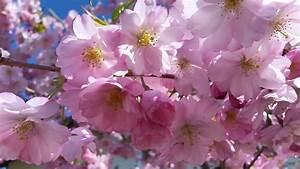 Rosa Blühender Baum Im Frühling : kostenlose foto baum natur ast bl hen blume lila ~ Lizthompson.info Haus und Dekorationen