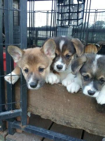 pembroke welsh corgi puppy dog  sale  trenton florida