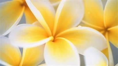 Flower Yellow Windows Definition Wallpapers Desktop Iphone