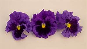 Getrocknete Blüten Kaufen : stiefm tterchen lila essbare bl ten kaufen ~ Orissabook.com Haus und Dekorationen