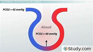 External And Internal Respiration In The Lungs  Definition  U0026 Process