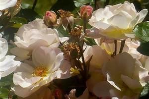 Rosier Tige Pas Cher : le roman de la rose jardins de pan jardinier paysagiste st brieuc en c tes d 39 armor ~ Dallasstarsshop.com Idées de Décoration