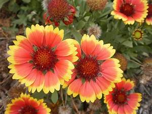 Blanket Flowers  Plant Care And Collection Of Varieties  Lots Of Varieties