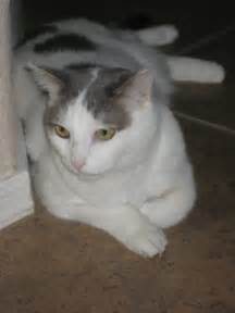 Gray Cat with White Spots