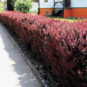 4 Jahreszeiten Hecke : les 25 meilleures id es concernant hecke pflanzen sur ~ Lizthompson.info Haus und Dekorationen