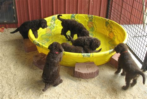 the puppy barn southern charm labradoodles american and australian